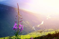 Fireweed at sunset on Logan Pass Royalty Free Stock Images