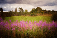 Fireweed Stock Photo