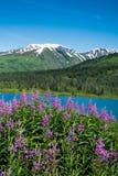 Fireweed und See in Alaska Stockbilder