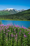 Fireweed und See in Alaska Stockbild