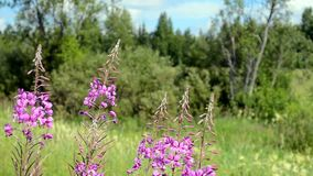 Fireweed in the wind stock footage