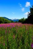 Fireweed. Stock Photography