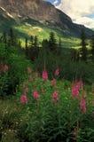 Fireweed y montaña Fotografía de archivo