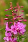 Fireweed zbliżenie w Pełnym kwiacie Obraz Royalty Free