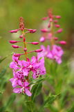 Fireweed zbliżenie w Pełnym kwiacie Obraz Stock