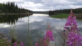Fireweeds über Minto See, Yukon-Territorium, Kanada Lizenzfreie Stockfotos