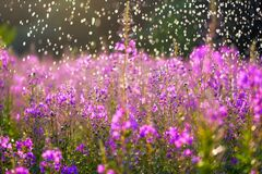 Fireweeds under the raindrops in the summer sun