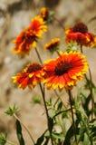 Firewheel blüht im Sonnenlicht, Lamayuru, Ladakh, Indien Lizenzfreies Stockfoto