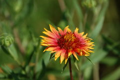 Firewheel (Gaillardiapulchella) Royaltyfri Fotografi