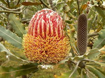 Firewood banksia. (Banksia menziesii) flowering in Maui, Hawaii Royalty Free Stock Photos