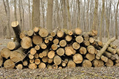 Firewood in the forest. Royalty Free Stock Photo