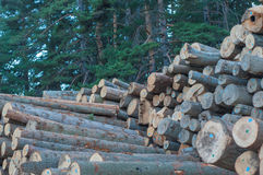 Firewood. Large felled trees stacked in a pile in the woods stock images