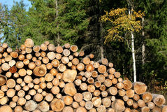 Firewood Stacked in Autumn Forest Royalty Free Stock Photography