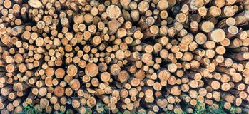 Firewood is stored in the forest for further processing stock photo