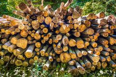 Firewood wooden material gathered and used for fuel firewood is royalty free stock photo