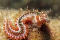 Fireworm Stock Image