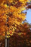 Firey-färgade ställningar för nedgånglövverk mot blå himmel i New England fotografering för bildbyråer