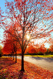 Firey fall colors Stock Photography