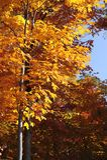 Firey-farbiger Herbstlaub steht gegen blauen Himmel in Neu-England stockbild