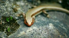Firey Lizard Stock Photos