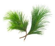 2 firry изолированной ветви на белизне Стоковые Изображения