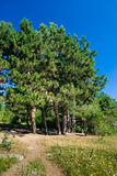 Firs. In summer Crimea mountains Stock Photography