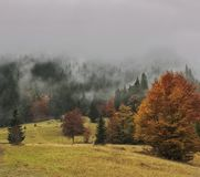 Firs and autumn trees in the fog. On the mountainside royalty free stock photos