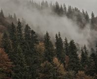 Firs and autumn trees in the fog. On the mountainside royalty free stock photography