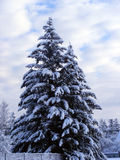 Firs. Big firs covered with snow Royalty Free Stock Photos