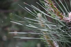 Firs branch. Long needles are beautiful firs Stock Photo