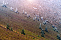 Firs covered with frost Stock Photo