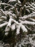 Firs are covered with snow stock photo