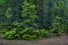Firs in a dense summer forest. A few spruce trees with young shoots, illuminated by the sun against a thick dark forest Stock Photography