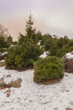Firs and elfin wood in the Royalty Free Stock Image
