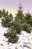 Firs and elfin wood in the Stock Photo