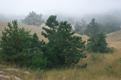 Firs in fog Royalty Free Stock Photo
