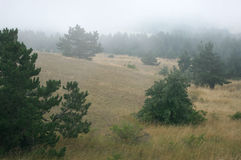 Firs in fog Royalty Free Stock Photos