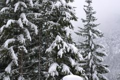 The firs in the forest covered by snow while the snow still falls. The beauty of the Veneto mountains, the Dolomites during the winter Royalty Free Stock Photo