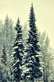 Firs. Forest landscape with fir trees in the snow Royalty Free Stock Images