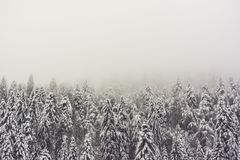 Firs forest in winter with a foggy atmosphere. With large copy space - Vosges, France - december 2017 Stock Photos