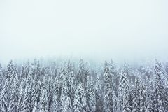 Firs forest in winter in a foggy atmosphere. Firs forest in winter with a foggy atmosphere with large copy space - Vosges, France - december 2017 Royalty Free Stock Photos
