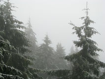 Firs in the mist. Royalty Free Stock Photos