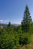 Firs and mountains. In a clear summer day Stock Image