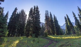 Firs in the mountains. Trees of fir in the mountains of Zailiysky Alatau Royalty Free Stock Photos
