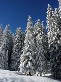Firs, Nature, Forest, Snowy, Winter Royalty Free Stock Photos