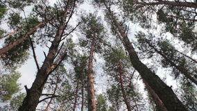 Firs in the pine forest. The tops of Christmas trees, pine forest in the summer swaying in the wind stock video footage