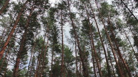 Firs in the pine forest. The tops of Christmas trees, pine forest in the summer swaying in the wind stock video