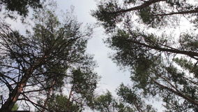 Firs in the pine forest. The tops of Christmas trees, pine forest in the summer swaying in the wind stock footage