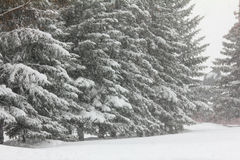 Firs and snofall Stock Image