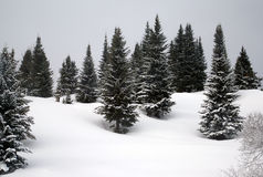 Firs in the snow. Fir trees in the snow Royalty Free Stock Images